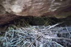 Balma o cova del Pons; nido habitado de ave