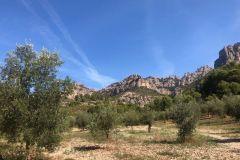 Frondosos olivos a nuestro paso hacia el Bruc
